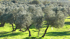 El olivar, uno de los más importantes sectores de nuestra agricultura.