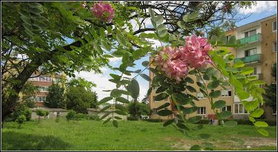 Photo: Salcâm roșu (Robinia hispida), din Turda,  Calea Victoriei, Nr. 11, spatiu verde - 2019.05.30