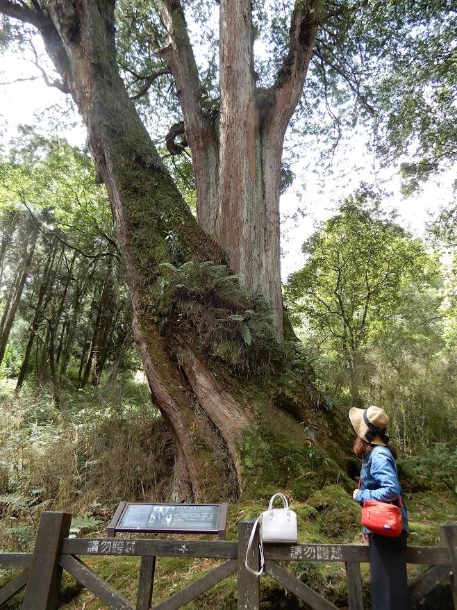 樹齢1600年(手前)と1700年(奥)のヒノキ