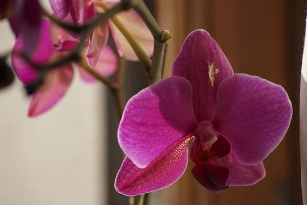 ORCHIDEA SELVAGGIA.. di Misst