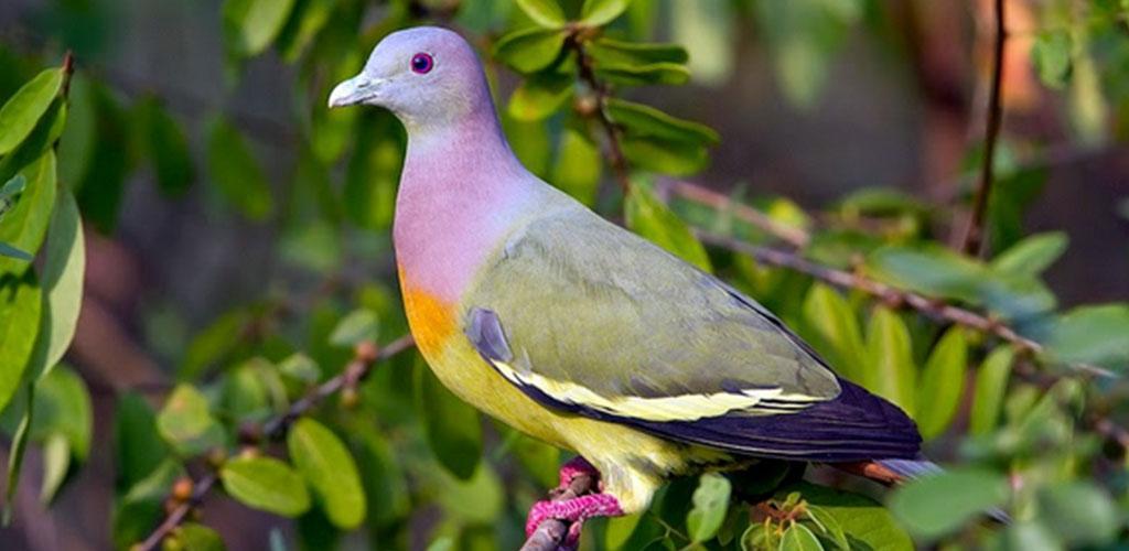 Download Suara Burung Punai Offline New Apk Latest Version For Android