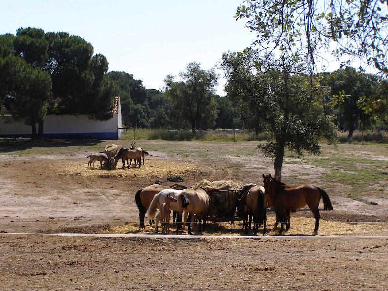 Photo: Lusitanian bay horse (Lusitano Baio) breeding...