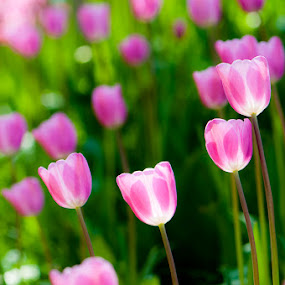 Tulips by Rory McDonald - Nature Up Close Flowers - 2011-2013 ( pink, tulips, alnwick )