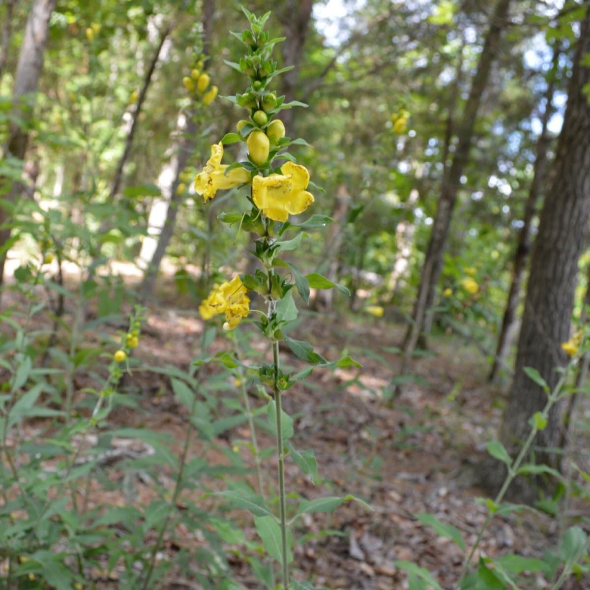 Yellow jessamine, Carolina jasmine