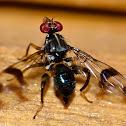 Richardia sp. Fly