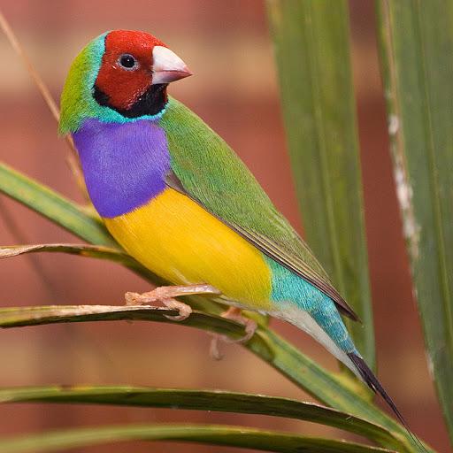 Paintbrush Birds – Gouldian Finch