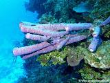 Photo: Éponges tubulaires à Columbus Isle