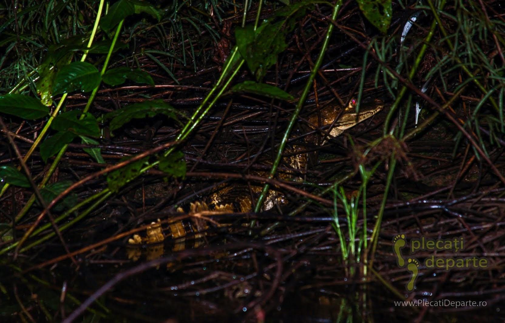 Mic crocodil speriat de lumina lanternelor, in jungla amazoniana, in Rezervatia Nationala Pacaya-Samiria, Peru