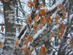 Photo: Detail of tree and leaves covered in snow.