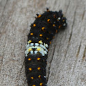 Black Swallowtail, early instar