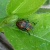Predatory Stink Bug nymph
