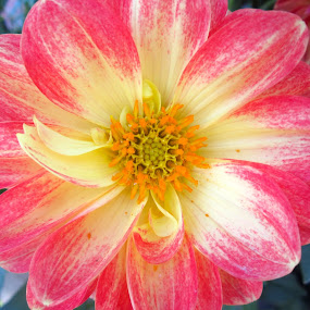 Dahlia by Viive Selg - Flowers Single Flower (  )