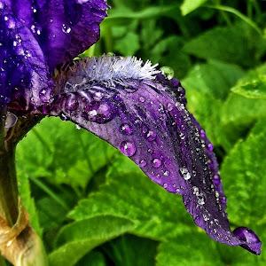 iris feather June 5a 201610__.jpg