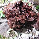 Leafy Jelly Fungus