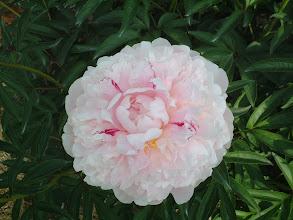 Photo: マリー 大輪の八重咲きで花姿が大きいので切り花向き
