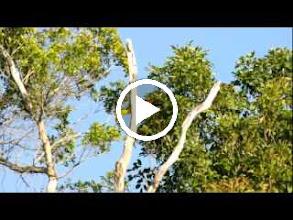 Video: Rainbow-billed (Keel-billed) Toucan (Fischertukan); Bacalar, QR