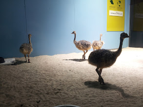 Photo: 36-day-old ostriches at the Academy of Sciences