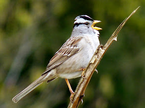 Photo: White-crowned Sparrow:  http://www.allaboutbirds.org/guide/white-crowned_sparrow/id