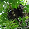 Sulawesi bear cuscus