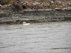 Photo: Pelikane gabs hier eine Menge