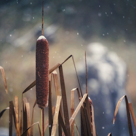 Cattails of winter  by Todd Reynolds - Nature Up Close Other plants (  )