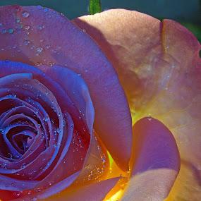 Backlight roses by Gordon Bishop - Nature Up Close Flowers - 2011-2013 ( water, orange, rose, drops, pink, flower, droplets,  )
