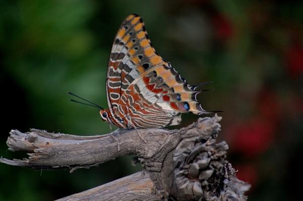 La farfalla di Marco di maarco