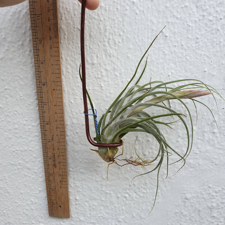 Tillandsia Seleriana x Schiedeana (Pre-Bloom)