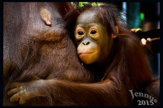 Photo: Die Vorfahren dieses kleinen Orang-Utan leben auf Borneo