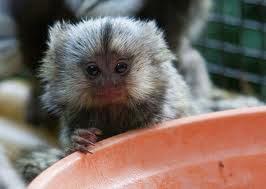 Photo: Baby marmoset