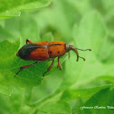 Ironweed Weevil/ Ironweed Curculio