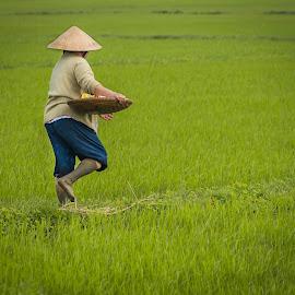Rice Field by Chris Bartell - People Street & Candids ( work, field, rice, green, woman. )