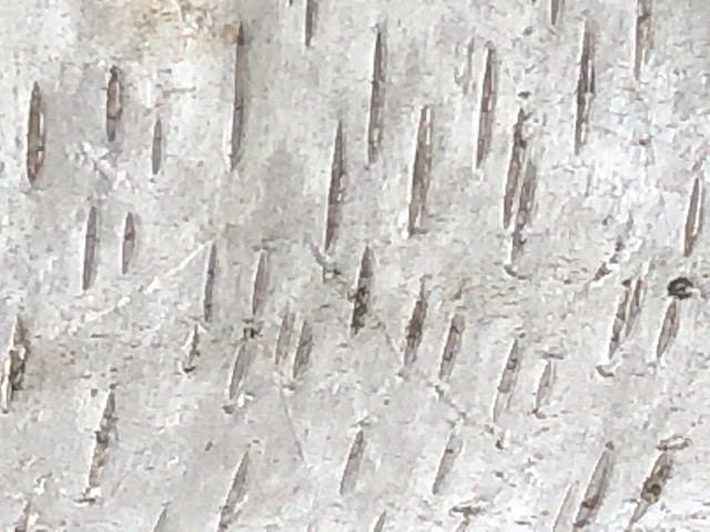 This is a close up photo of birch bark.