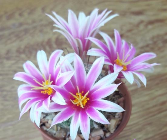 Mammillaria Schumannii แมมชูแมน 03