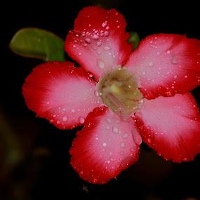 Adenium by Rizal Marsa - Flowers Flower Gardens (  )