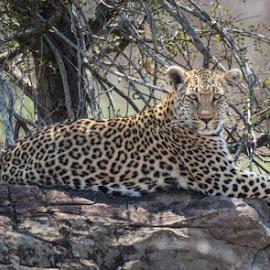 by Lanie Badenhorst - Animals Lions, Tigers & Big Cats ( #leopard, #krugernationalpark, #big5, #bigcat, #wildlife )