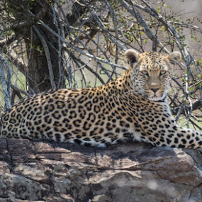 by Lanie Badenhorst - Animals Lions, Tigers & Big Cats ( #leopard, #krugernationalpark, #big5, #bigcat, #wildlife )
