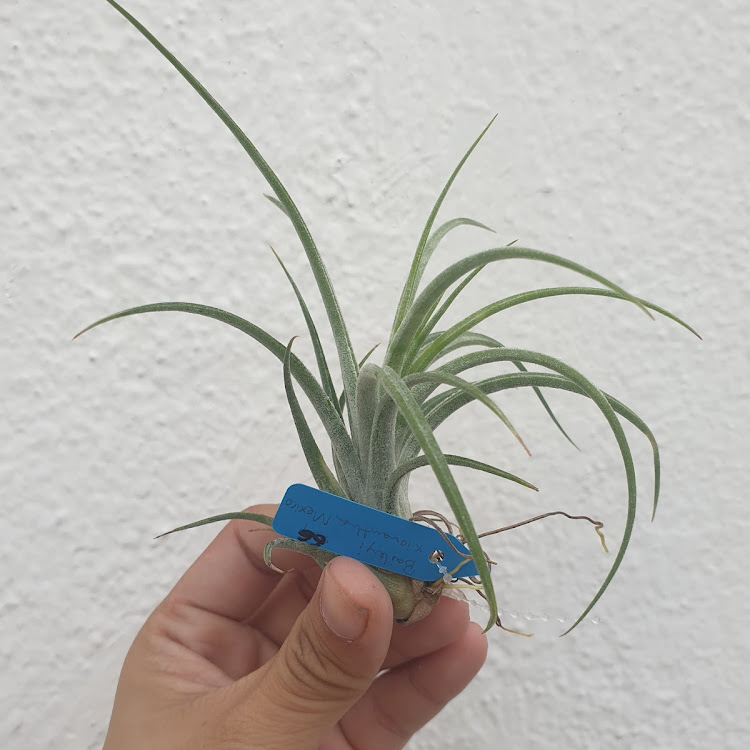 Tillandsia Califano