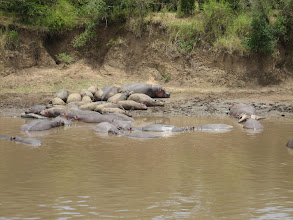 Photo: Hippos... They are fat... a few alligators were floating about as well