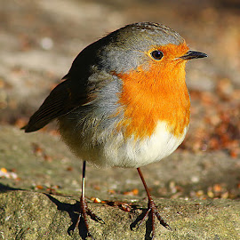 Cute Little Robin by Chrissie Barrow - Animals Birds ( robin, red, orange, feathers, bird, european, animal )