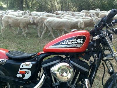 Pecore in moto di addavero