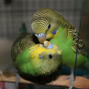 Love comes in all sizes by Niranjan Rajendran - Animals Birds ( love, nature, birds, close, animal )