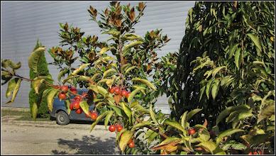 Photo: Măr ornamental - (Malus spp) - din Piata 1 Decembrie 1918, spatiul verde - 2016.09.30