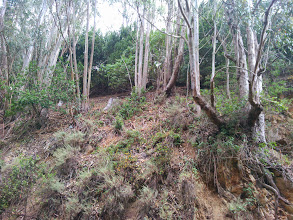 Photo: Here is the thinned and managed eucalyptus.