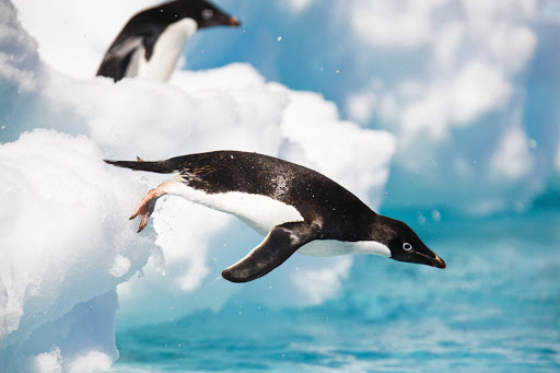 Lindblad-Expeditions-Antarctica-Adelie-penguins.jpg - Adult Adelie penguins plunge into Antarctica's frigid waters during a Lindblad expedition.