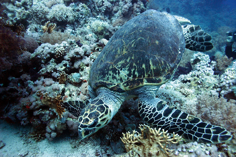 Photo: Green turtle (Chelonia mydas) off Ras Mohamed at 42 metres grazing on coral