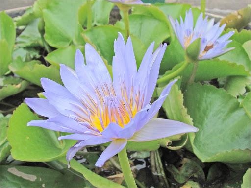 A lotus flower in Phnom Penh, Cambodia.