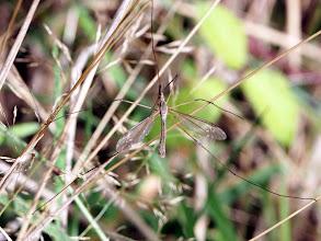 Photo: Crane Fly.