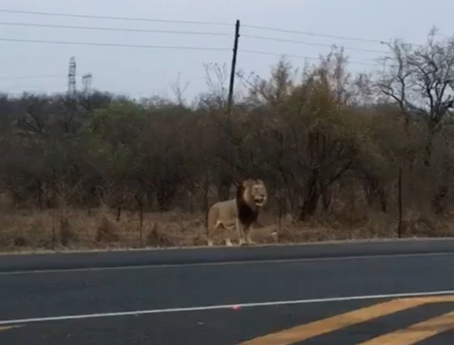 A lion has been spotted by motorists on the N4 between Marloth Park and Hectorspruit on Sunday September 23, 2018