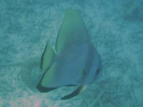 Photo: Platax orbicularis (Circular Spadefish), Naigani Island, Fiji.